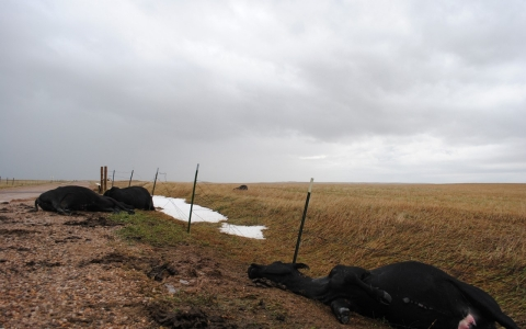 Ranchers in South Dakota were hit hard by the historic blizzard that destroyed thousands of cattle.