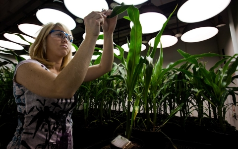 A research biologist takes samples from genetically modified corn plants inside a climate chamber housed in Monsanto agribusiness headquarters in St Louis.