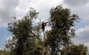 A Palestinian boy harvests olives in a village near the northern West Bank city of Jenin on Oct. 8, 2012.