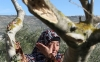 A Palestinian woman cries after seeing the damage from settlers to her olive trees in the village of Burin, near Nablus on Jan. 7, 2010.