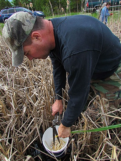 Marty Reinhardt, who founded the project, shown harvesting cattails last March.