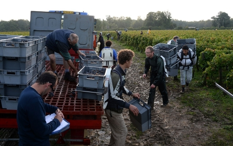 "Workers prepare to load a lorry with crates filled with grapes during the harvest in a ""Graves"" grand cru parcel, on Oct. 5, in Martillac (Bordeaux)."