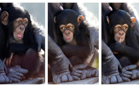 Thumbnail image for Federal government to transfer laboratory chimps to sanctuaries