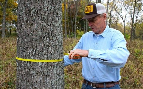 Harlan Palm of Kingdom City, Mo., measures one of the roughly 700 black walnut trees he's grown.