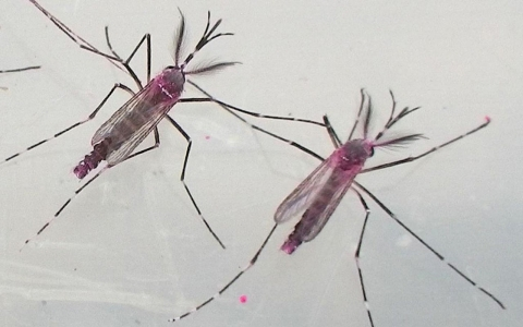 Oxitec's dye-marked Oxi513A male mosquitoes ready for release in Brazil.