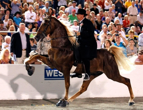 A walking horse exhibits a high-stepping gait at 2012's Tennessee Walking Horse National Celebration