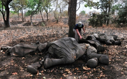 Thumbnail image for  Africa's elephant population plummeting, conservation groups warn