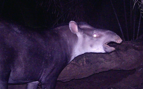 Thumbnail image for Scientists discover new species of tapir in disappearing Amazon