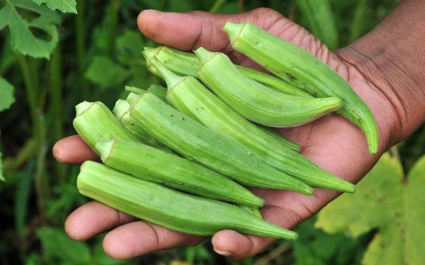 Thumbnail image for Okra-homa: As the climate warms, Midwest farmers plant Southern crops