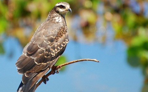 The Everglade snail kite.
