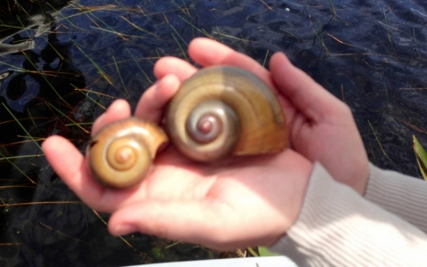 The larger island apple snail is twice the size of the native apple snail, making a heartier treat for snail kites.