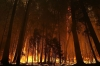 Flames from the Rim Fire consume trees on Sunday near Groveland, Calif.