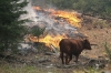 A cow walks past a blaze outside Camp Mather in California on Saturday.