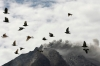 Pigeons fly near Mount Sinabung as it spews ash and hot lava during an eruption near Simpang Empat village in Karo district, Indonesia's north Sumatra province on Sunday.