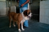 Reyna, who would appear to be a St. Bernard, is one of the lucky ones. In this photograph, she waits to meet her new owner.
