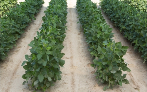 Genetically modified soybean plants that were developed by Dow AgroSciences to resist a common weed killer.