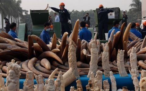 Thumbnail image for China crushes 6 tons of ivory in landmark effort to cut illegal trade