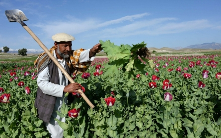Afghan opium cultivation hits record high, fueling Taliban insurgency
