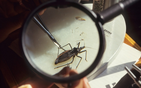 Thumbnail image for Kissing bug disease creeps into US, but symptoms often missed