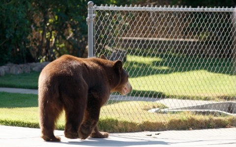 The California Department of Fish and Wildlife has found no data to support the claim that increased bear sightings this winter is due to the drought 'waking bears' from hibernation.