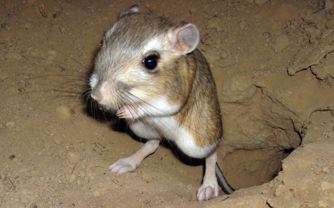 The endangered giant kangaroo rat is one of the key species of California's Carrizo Plain.