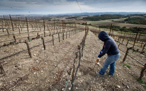 A worker aerates the ground around the vines at the Russell Family Vineyard near Paso Robles