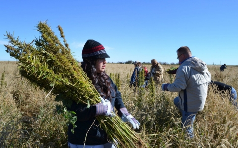 Thumbnail image for Farm bill promotes hemp as legal crop