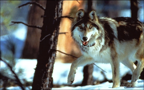 The Mexican gray wolf population is less than 100 in the Southwest.