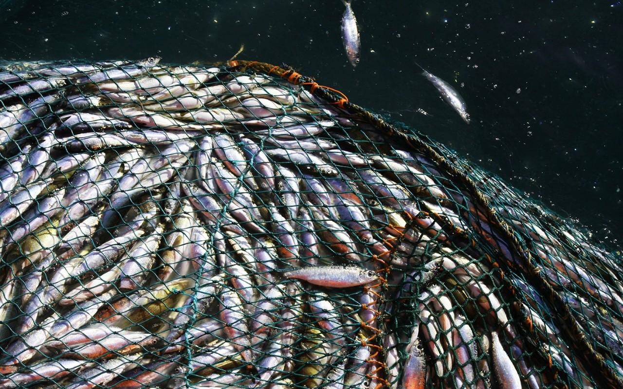 Report climate change stunting fish al jazeera america for Sierra fish in english