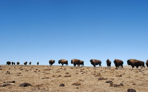 Pine Ridge reservation, bison, bufallo, drought, South Dakota