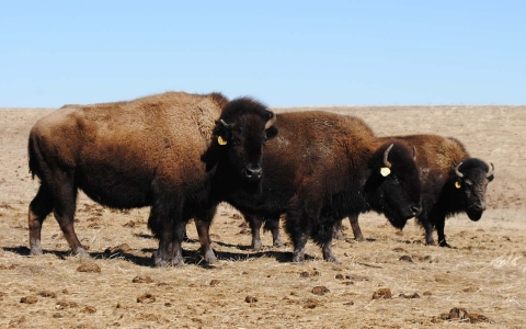 bison, buffalo, drought, Pine Ridge, Lakota, South Dakota