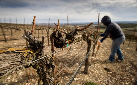 A worker aerates the ground around the vines at the Russell Family Vineyard near Paso Robles, Calif.