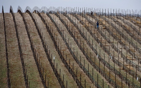 Workers prune vines at the Russell Family Vineyard