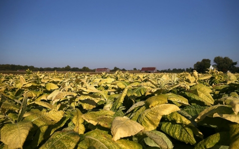 Thumbnail image for Report: Child workers on US tobacco farms face hazardous conditions