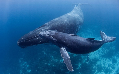 Thumbnail image for Big mammals vs. Big Oil: New pipeline puts humpback whales at risk