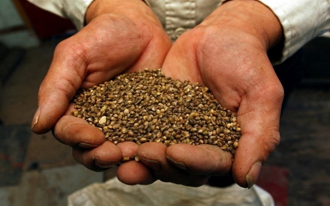 Thumbnail image for DEA to release Kentucky hemp seed shipment
