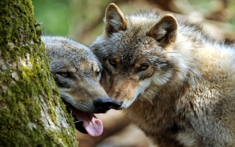 Thumbnail image for Wisconsin wolf hunt begins amid warnings from conservationists, tribes