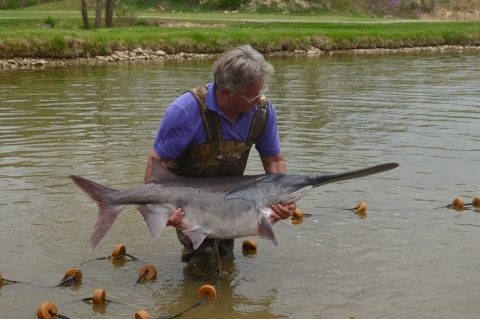 Pete Kahrs pulls a paddlefish out of the water, demonstrating its size.