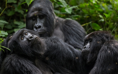Thumbnail image for Deal aims to ban drilling in gorilla preserve
