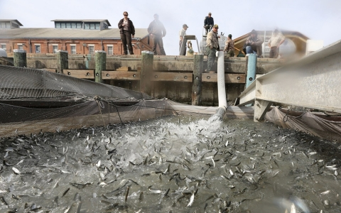 Thumbnail image for 50 percent more California salmon migrating by truck because of drought