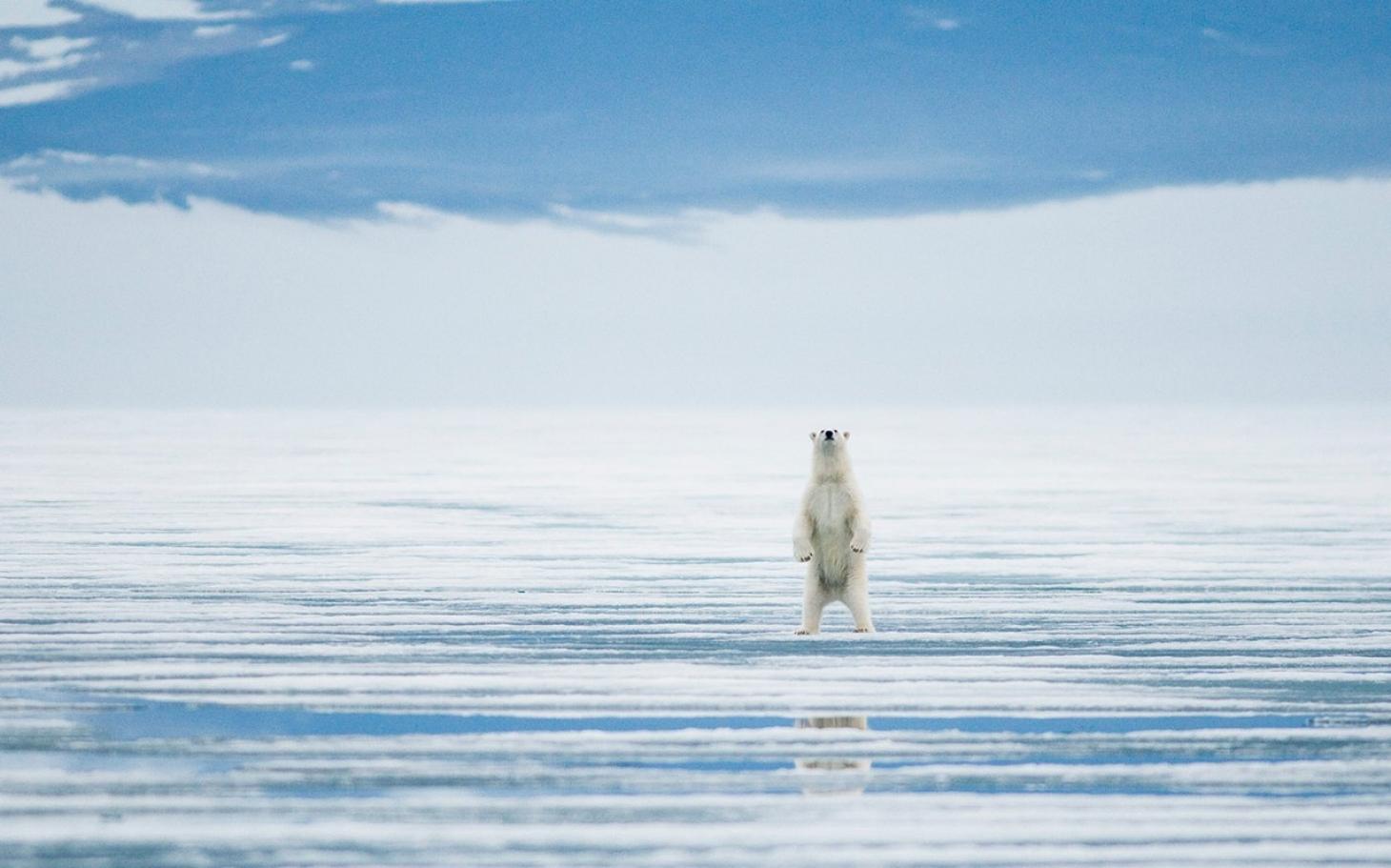 New Tv Ads Focus On Plight Of Polar Bears In Warming World