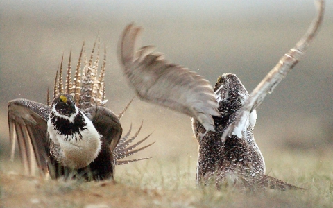 The greater sage grouse, which dates back to the Ice Age, is down by half in its numbers.