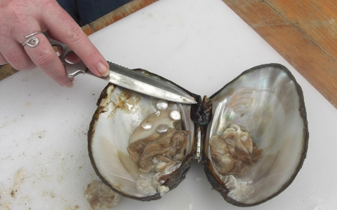 Opening a mussel that has been cultivated for pearls