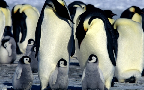 Thumbnail image for Emperor penguins, long thought stable, could suffer from climate change
