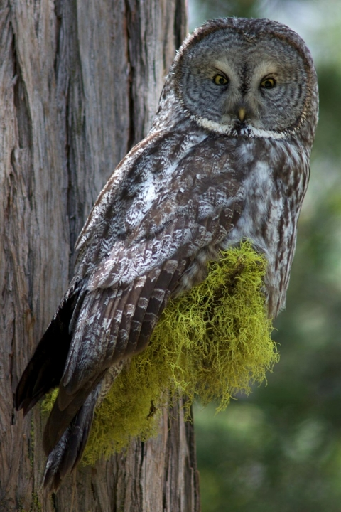 An owl at Yosemite National Park