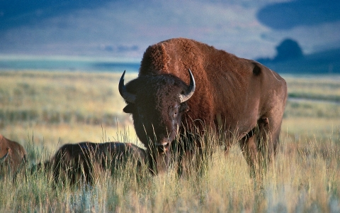 Thumbnail image for US, Canadian tribes sign historic bison treaty