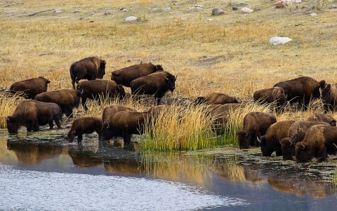 Thumbnail image for 'His life is our life': Tribal elders want buffalo back in the ecosystem