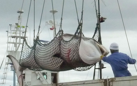 Thumbnail image for Japan resumes Antarctic whale hunt, bucking pressure