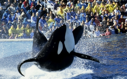 SeaWorld in San Diego plans to phase out controversial orca shows