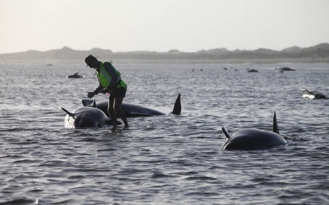 Thumbnail image for Pod of 198 whales stranded on New Zealand beach